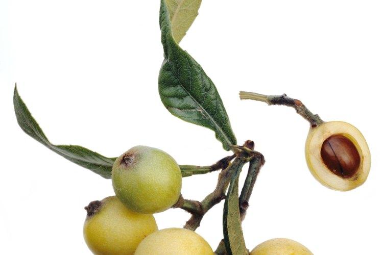 Los nísperos son fáciles de cultivar desde semillas.