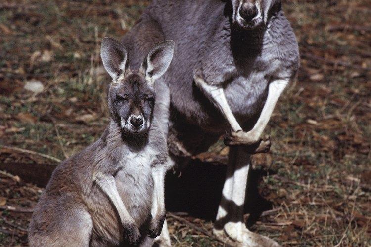 Los canguros son una especie del género marsupial.