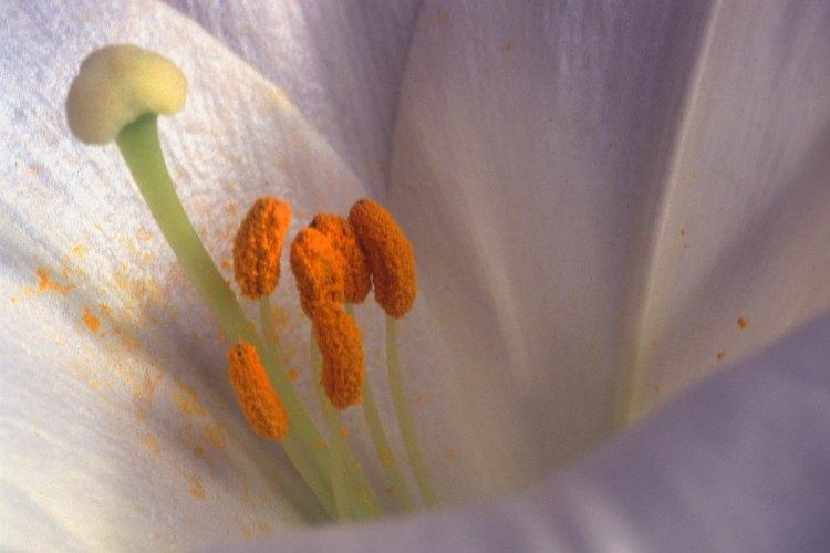 Estos estambres presentan un polen anaranjado que cubre las anteras y está espolvoreado sobre los pétalos de la flor.