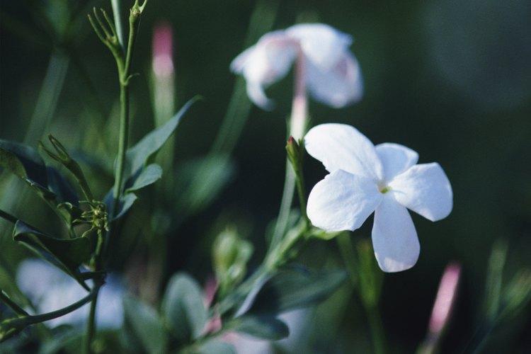 Las plantas de jazmín no son tóxicas para los animales.