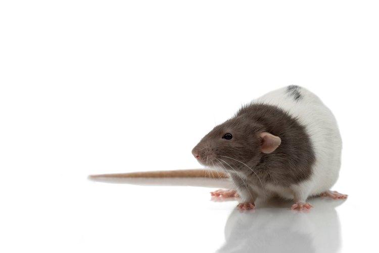 Saca a las ratas de tus paredes lo antes posible.