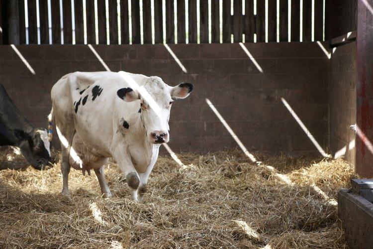 Vaca lechera.