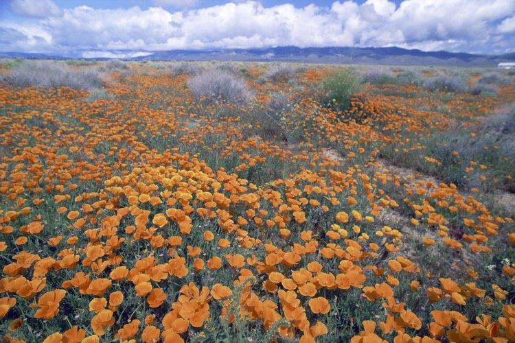 Escolzias coloridas florecen en el desierto de Mojave cada primavera.