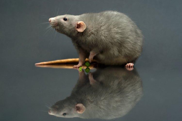 Almacena tu basura en contenedores con tapas a presión para mantener a las ratas alejadas.