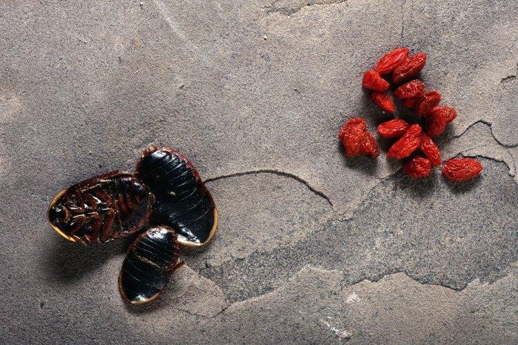 Insectos comestibles.