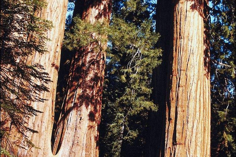 Haz tus caminata entre las arboledas de secuoyas de Quaking Aspen Campground.