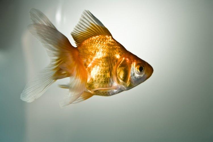 Las carpas doradas son los peces de acuario más comunes.