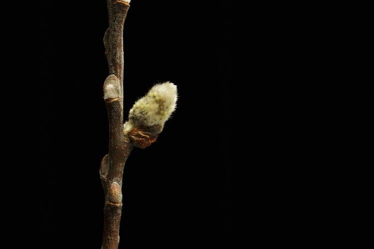 Las ramas conservadas de árbol de sauce son una opción natural para los arreglos orgánicos.