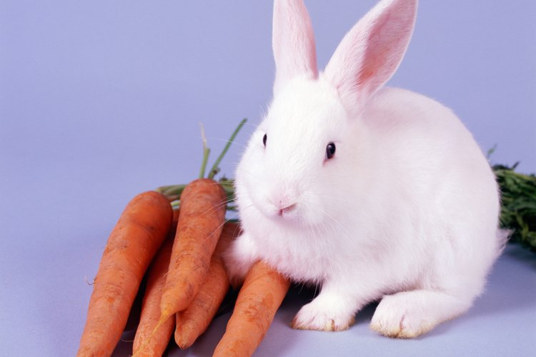 El conejo de Nueva Zelanda es mucho más grande.