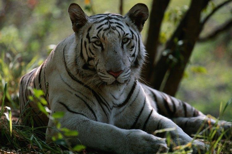 Los tigres de bengala blancos crecen más rápido y más pesados que los tigres amarillos.