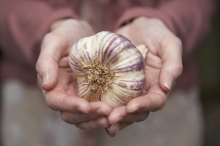 El ajo es fácil de cultivar y se desarrolla bajo tierra, similar a las cebollas.