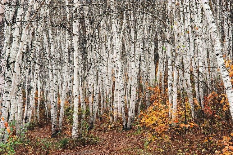 Los abedules compiten entre sí en un bosque repleto donde no cuentan con el suficiente espacio.