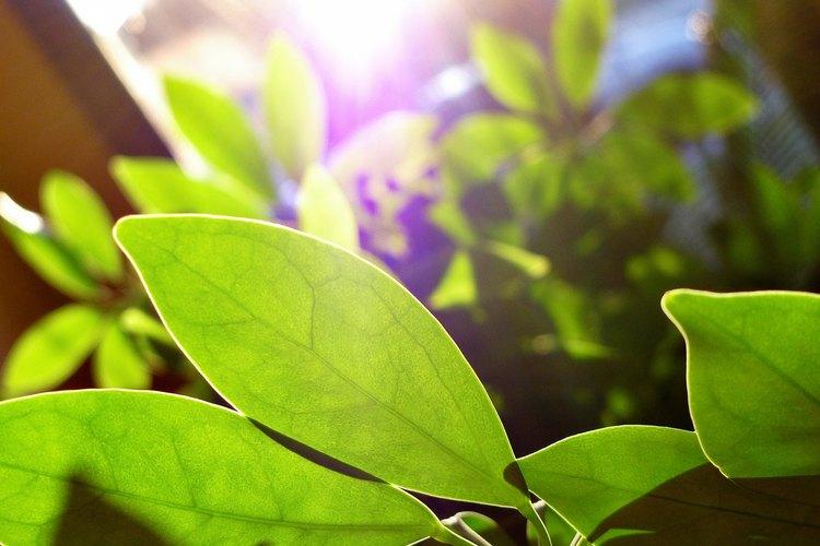 Las plantas convierten la glucosa en ácido pirúvico durante la glucólisis.