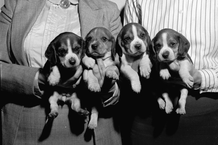Cachorros beagle.