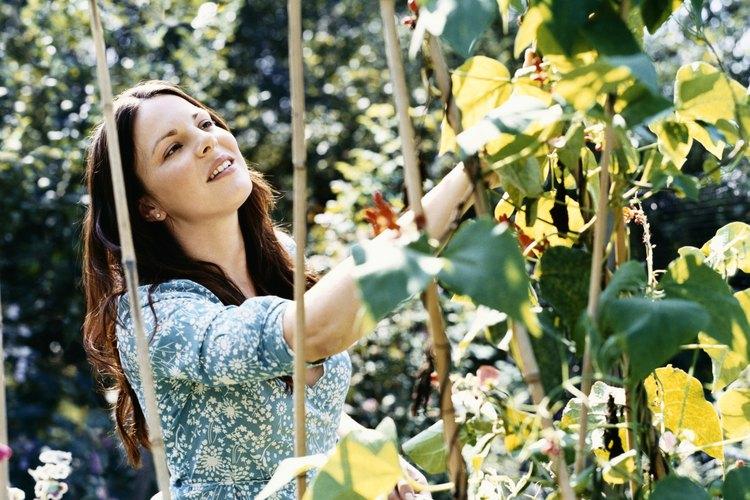 El tallo soporta las hojas, las flores y finalmente las vainas.
