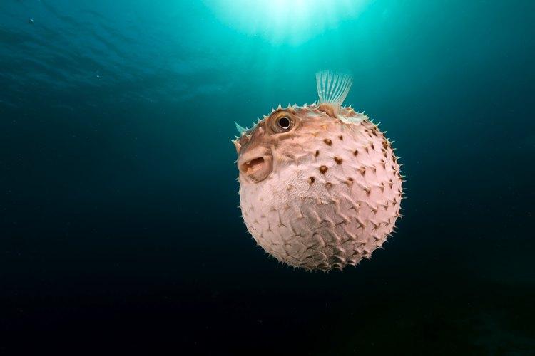 Los peces globo saltan fuera del tanque si son mantenidos en acuarios.