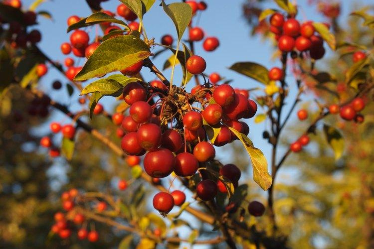 Los manzanos silvestres son de tamaño mediano.