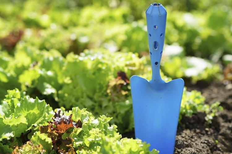 Las lechugas crecen bien en un jardín de otoño soleado y protegido del viento.