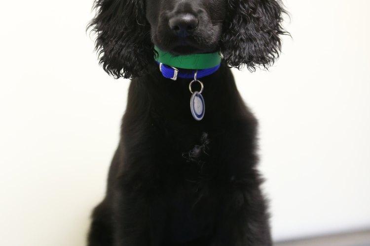 Cachorro rescatado de cocker spaniel.