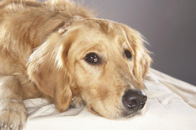 Un perro con cáncer puede marearse.