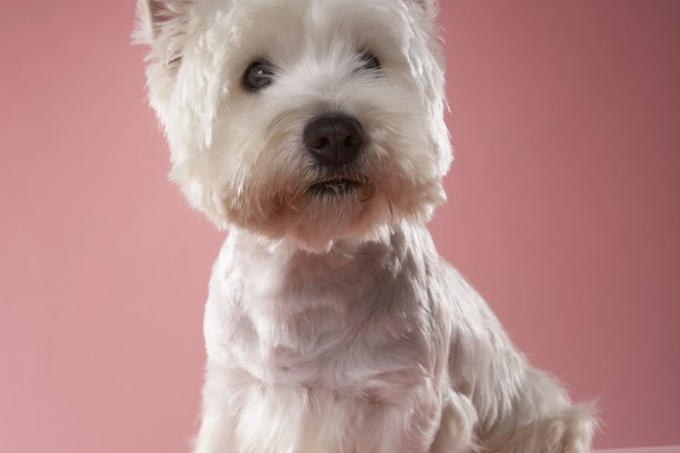El corte westie es lo que se utiliza generalmente en los terriers west highland.