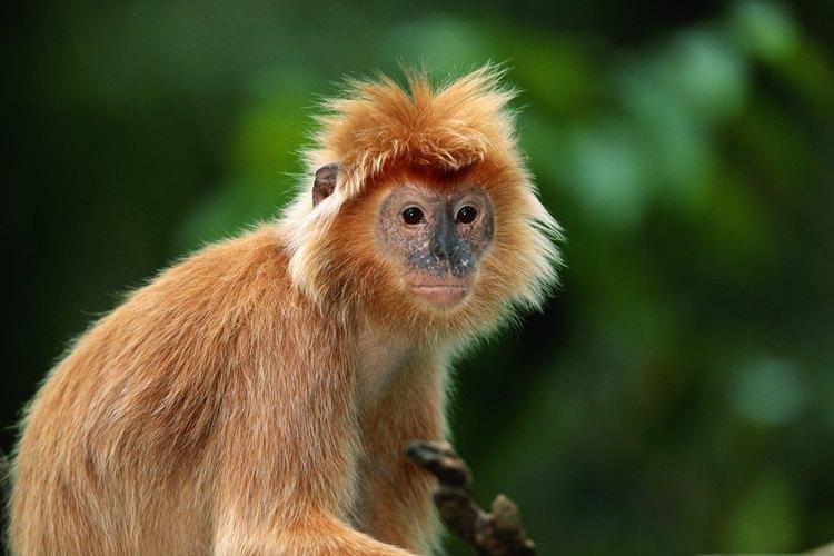 Los monos del Nuevo Mundo tienen narices planas (platirrinos).