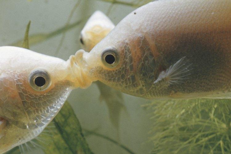 El cloro utilizado en la purificación del agua puede ser fatal para las plantas acuáticas.