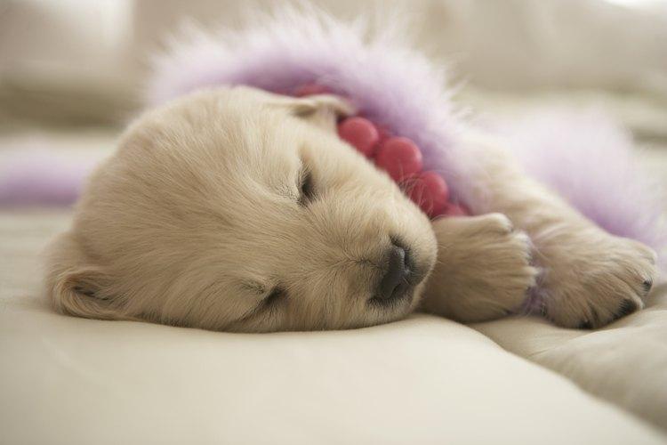 Socializa a tu cachorro de labrador tan pronto como sea posible.