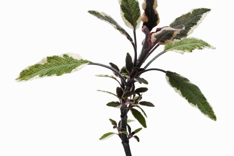 Los tallos son como espigas, con flores que crecen sobre el follaje.