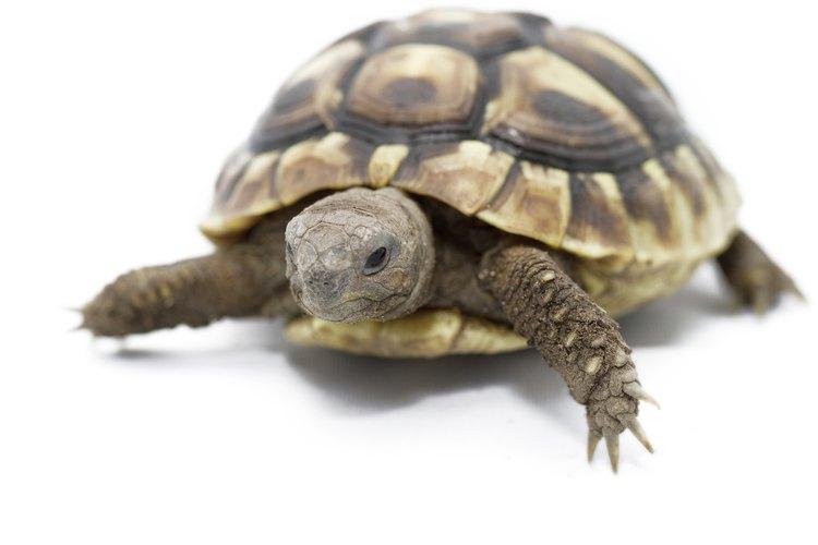 Las tortugas se reproducen por huevos.