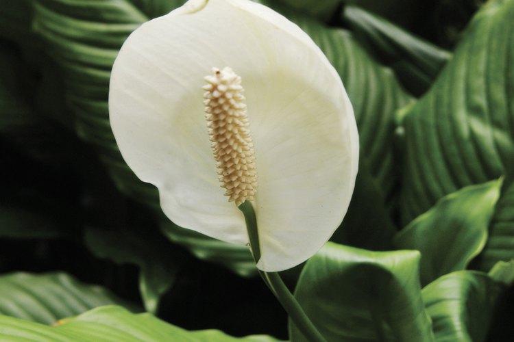 Cuida apropiadamente de tu planta interior de lirio de la paz para que resista muchos años.