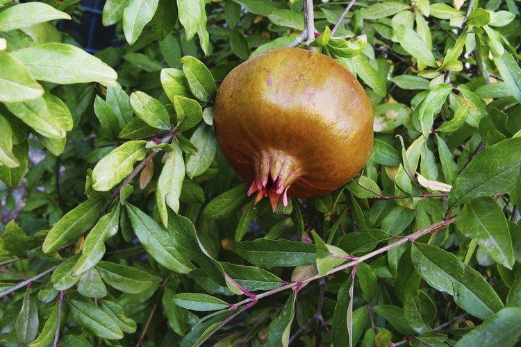 Una granada en el árbol.