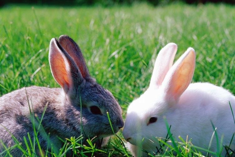 Puede ser difícil determinar si tu conejo hembra está embarazada.