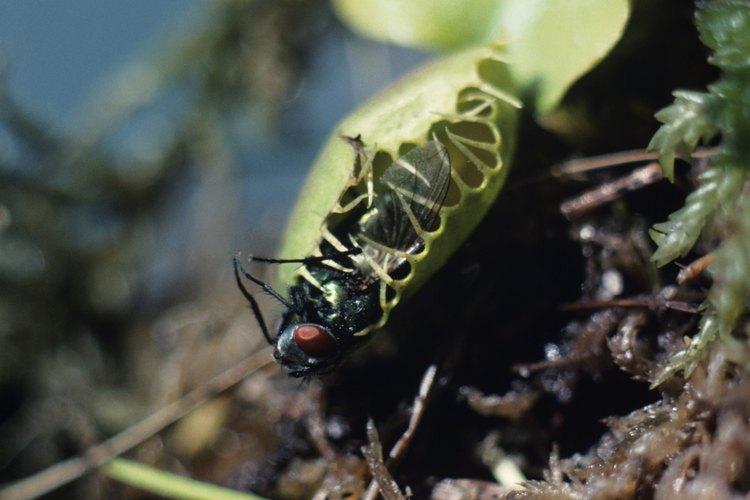 La Venus atrapamoscas obtiene nutrientes de los insectos que digiere.