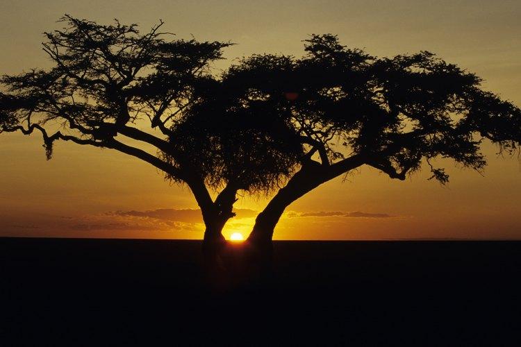 Una higuera exterior puede crecer hasta 30 pies (9 m) de altura.