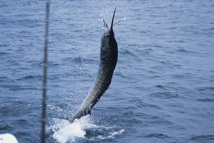 A veces los pescadores pondrán en libertad un pez vela.