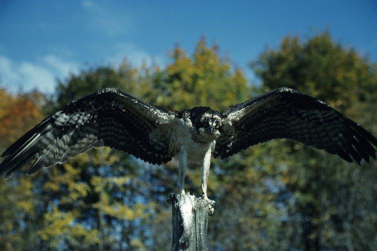 Estas aves se pueden encontrar en muchos entornos diferentes cerca del agua.