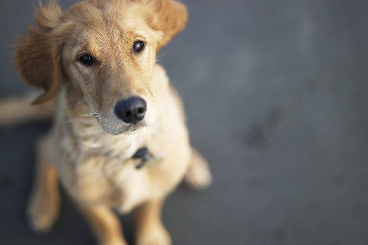 Aquí tienes instrucciones para limpiar los ojos llorosos de tu perro sin correr riesgos y con poca dificultad.