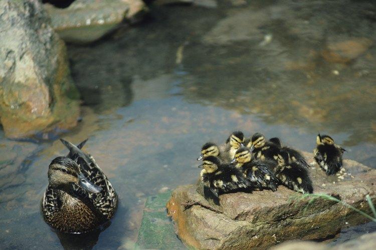 El pato salvaje es conocido por sus adaptaciones de comportamiento.