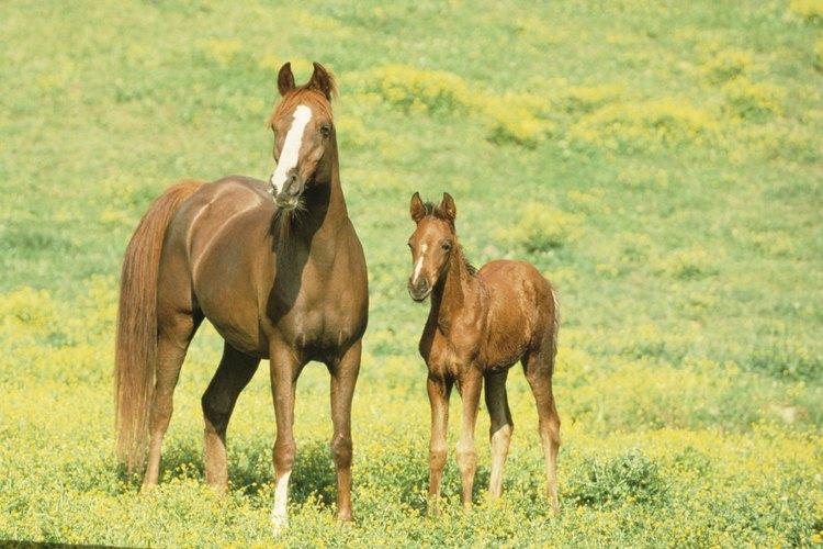 Aunque parezcan iguales los pura sangre registrados valen más que los caballos que no están registrados.