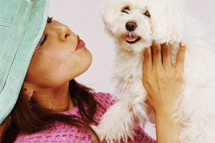 El corte de pelo del cachorro de maltés es parecido al estilo del bichón frisé.