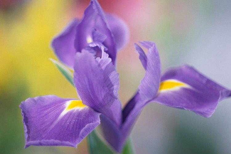 El iris, o flor de lis, es la flor nacional de Francia.