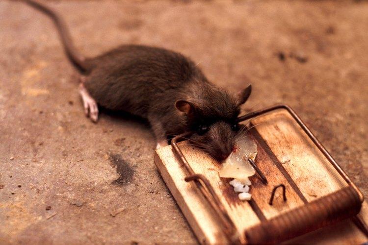 Las trampas de chasquido son alternativas muy eficientes del veneno para matar ratas.