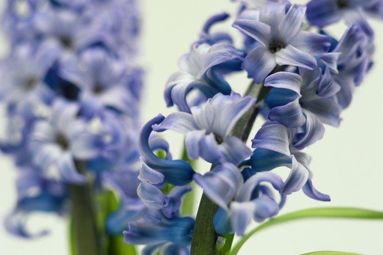 Los jacintos son famosos por su fuerte fragancia y sus coloridas flores.