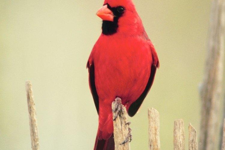Los cardenales y otros pájaros picotean al reflejo que ven en la ventana.