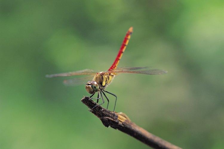 La libélula extiende sus alas completamente cuando descansa.