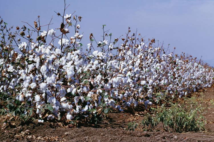 Cultivos de algodón hacen bien en el suelo de la sabana.
