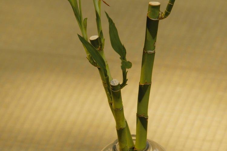 El bambú de interior es tan susceptible a los hongos blancos como las plantas de exterior.