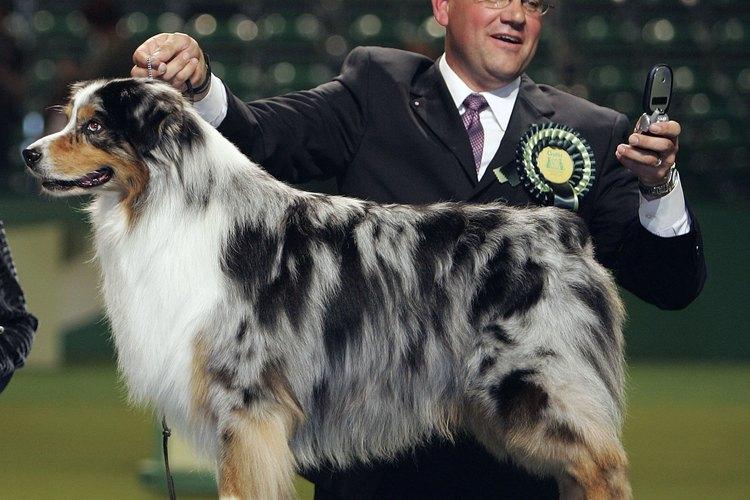Los pastores australianos son perros trabajadores hermosos.