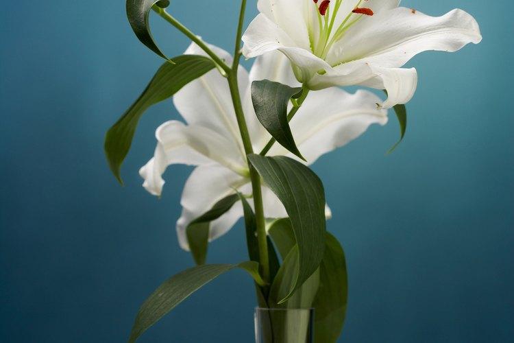 El lirio casa blanca es una variedad real crecida desde un bulbo.